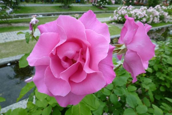 صور تحميل صور ورد , اجمل تحميل صور الورد