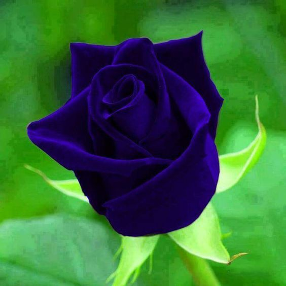 صور اجمل وردة في العالم , احلى ورود فى العالم