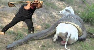 اكبر ثعبان فى العالم , معلومات عن الثعبان الاكبر في العالم