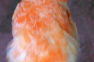 صورة اجمل كناري في العالم , صور عصافير كناري رائعه