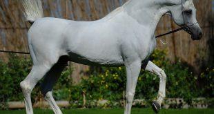 صور خيول عربية , اروع صور الخيول النادره
