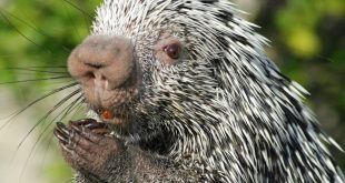 صور ما هذا الحيوان , تعرف على الحيوان اذا يخاف منه الاسد
