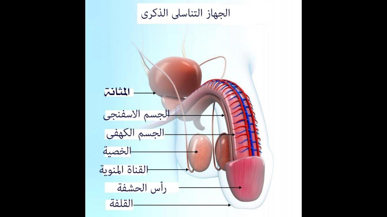 صورة الجهاز التناسلي للرجل , تعرف على الجهاز التناسلى عند الرجال