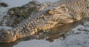صورة تمساح من الأسماء بحرف التاء , حيوان بحرف التاء 7343 1 310x165